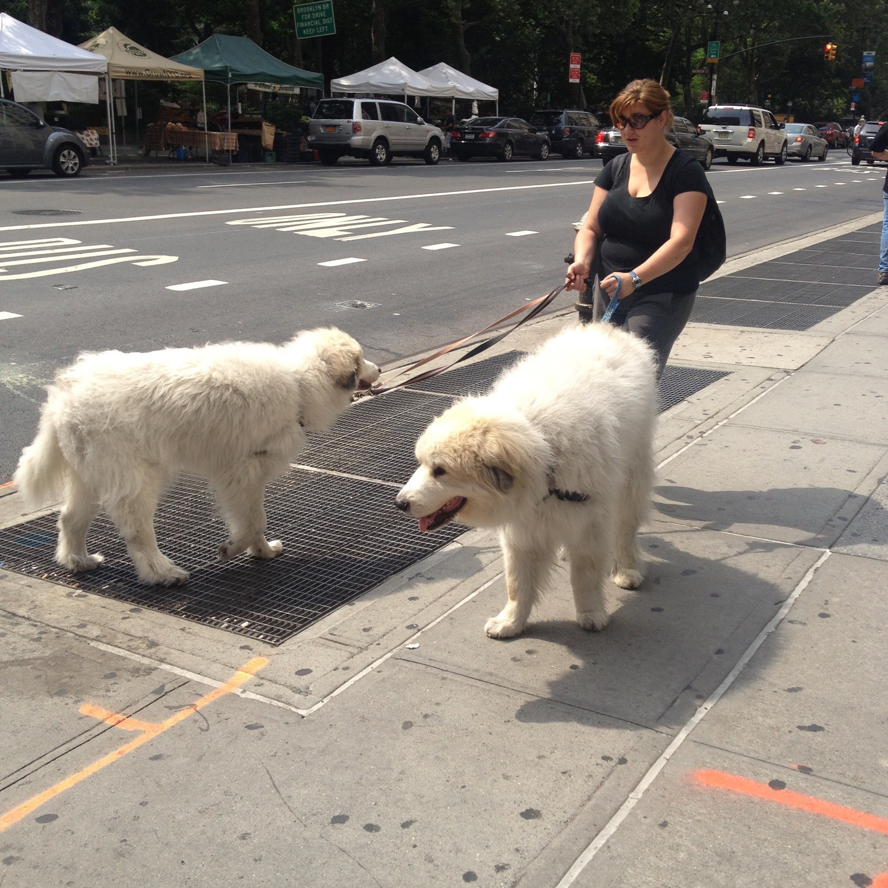 Two extremely large white dogs being walked on a New York City sidewalk.