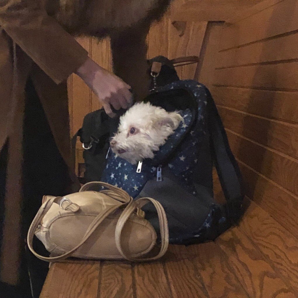 Small white dog sitting in a small bag on a wooden bench.